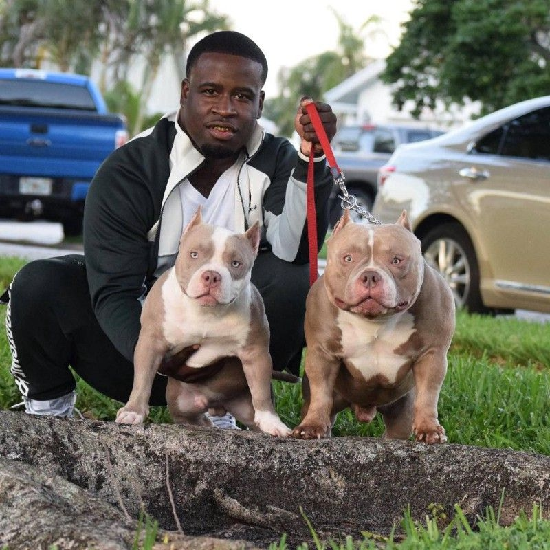 Lilac Champagne Lilac Tri Colored American Bully Clones In