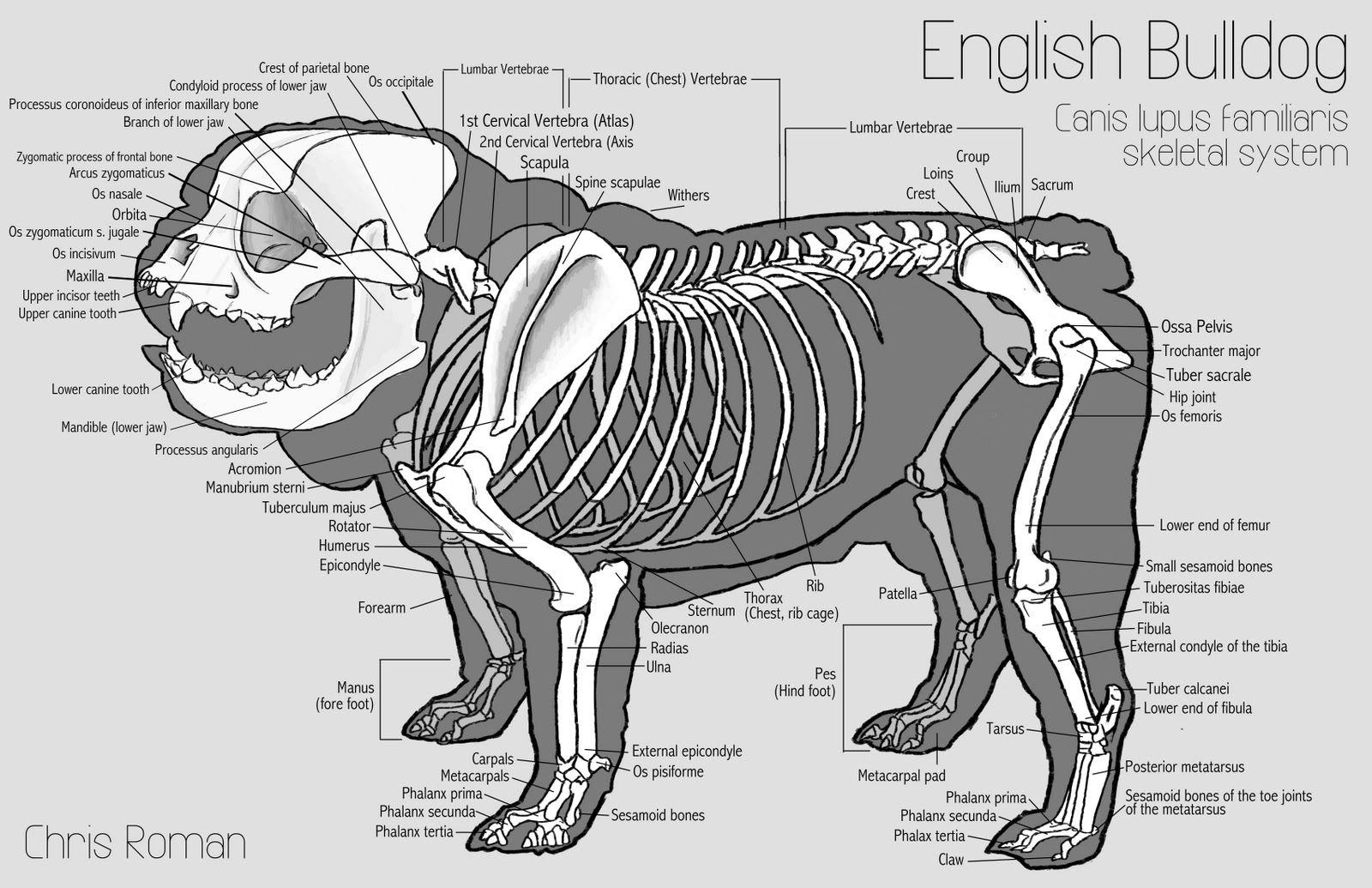 Dog\'s Skeleton View | An English bulldog\'s skeletal and superficial ...