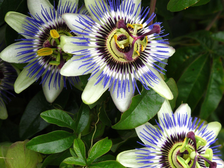 Blue Passion Flower Blue Crown Passionflower Passion Flower Passiflora Caerulea Blue Passion Flower Passion Flower Passiflora Caerulea