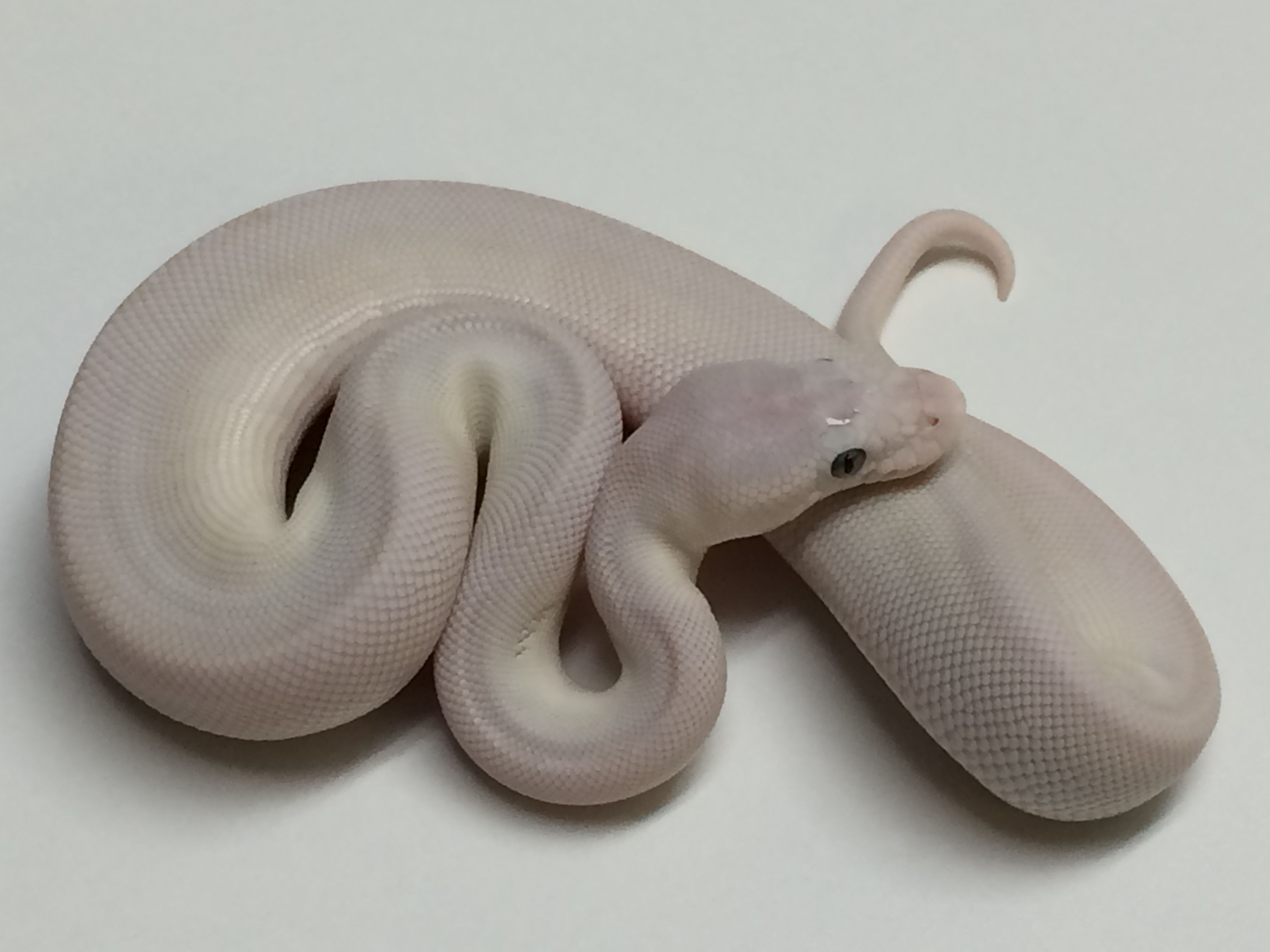 Baby Blue Eyed Leucistic Ball Python | Cute animals | Ball python