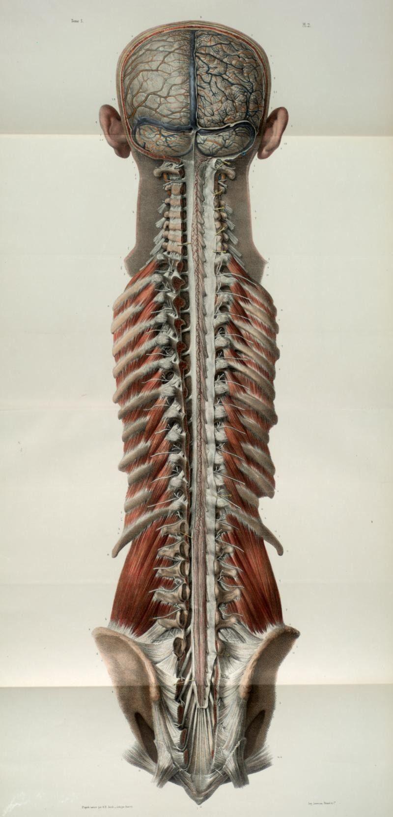 Pin de Nasi en Анатомия. Иллюстрация | Pinterest | Anatomía ...
