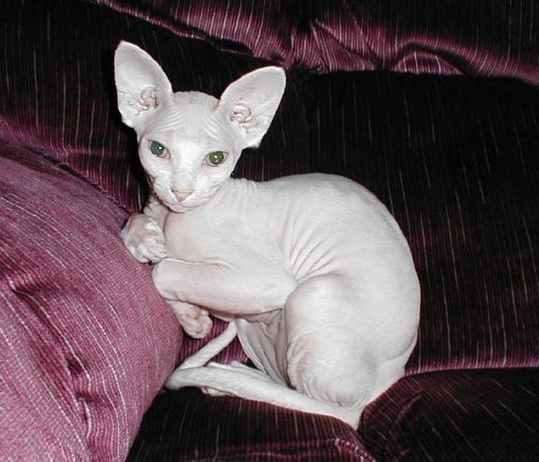 Sphynx Cats - Cats Without Fur (7)