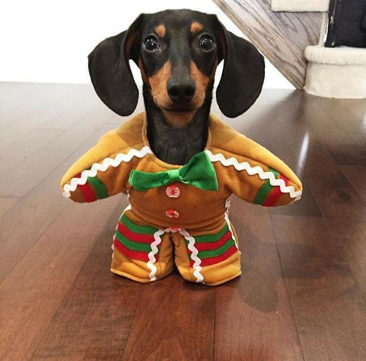 Dachchund Ginger Bread Man Or Pup Happy Holidays My