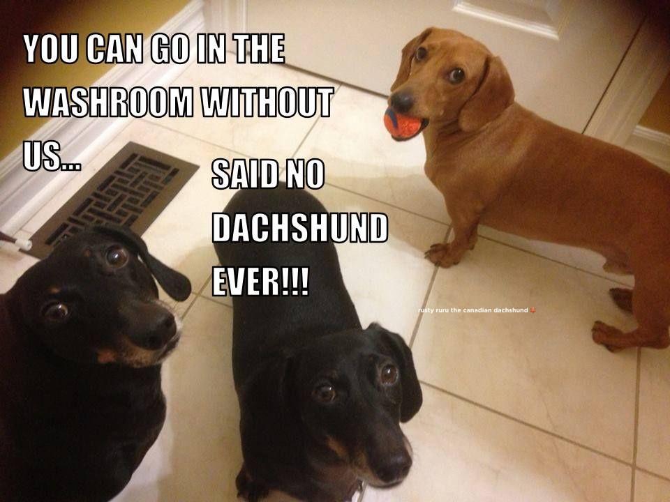 No Bathroom Is Safe Around A Dachshund Funny Dachshund