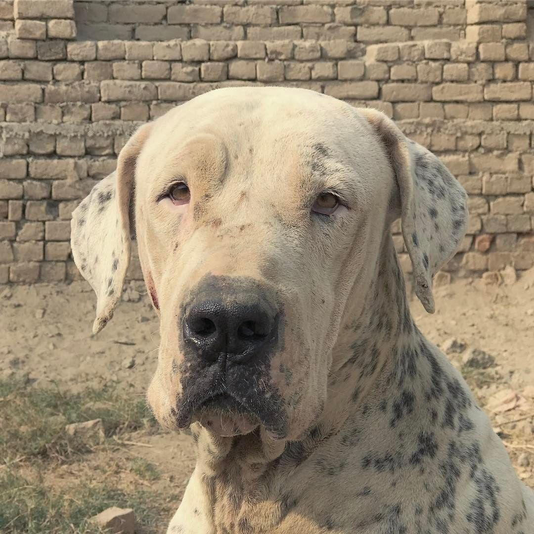 Sherni Bully Kutta Bullykutta From Pakistan Pakkangal And Bullykutta Mastiff Breeds Dogs Dog Breeds