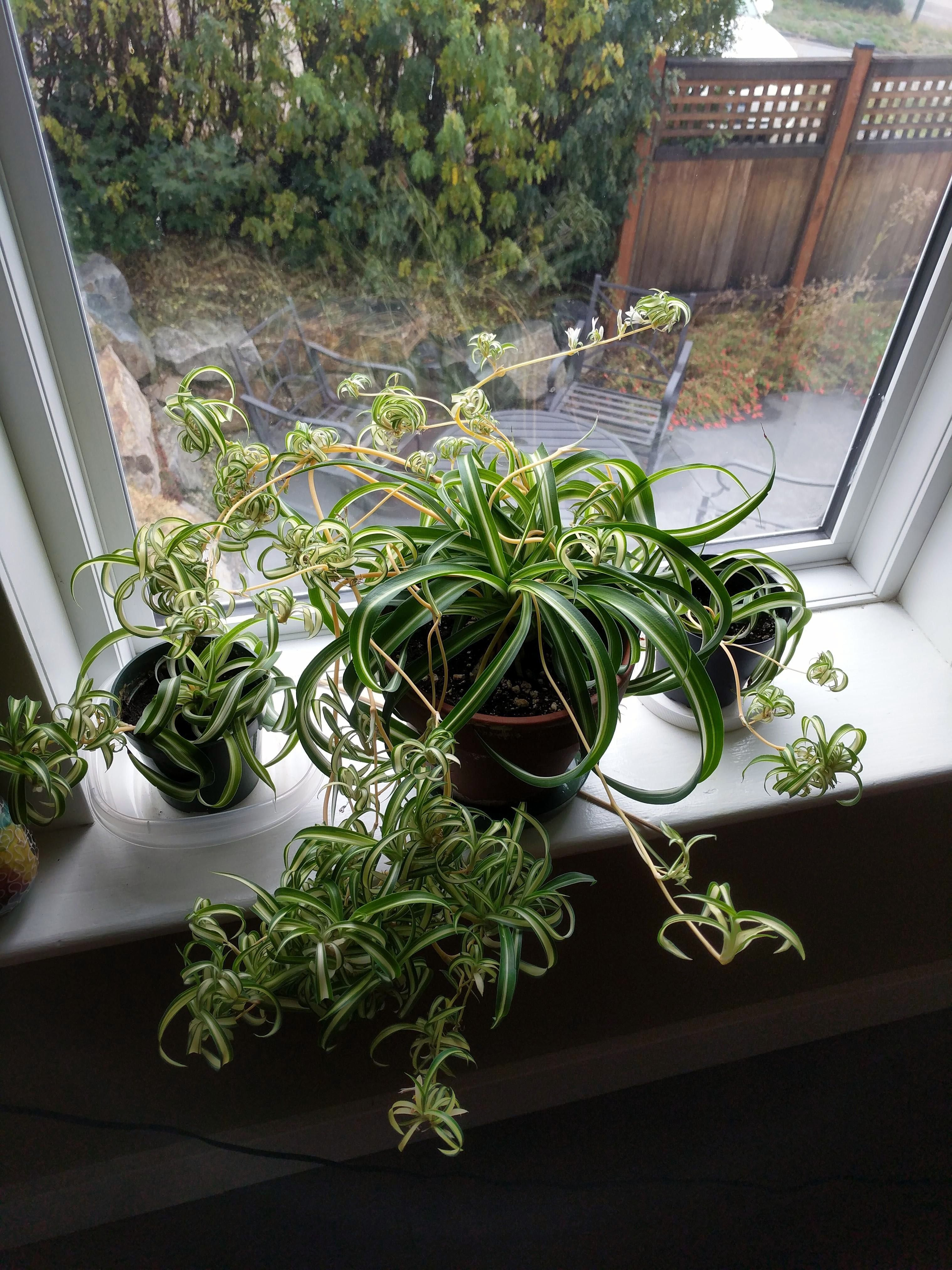 Crawler Plants And Cats Why Are Cats Eating Spider Plant