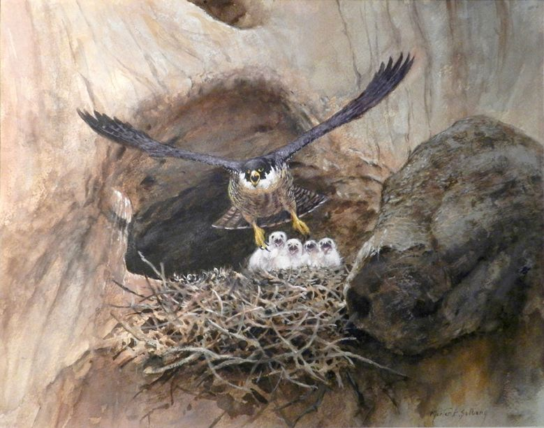 peregrine falcon amp chicks in cliff nest 11x14 watercolor