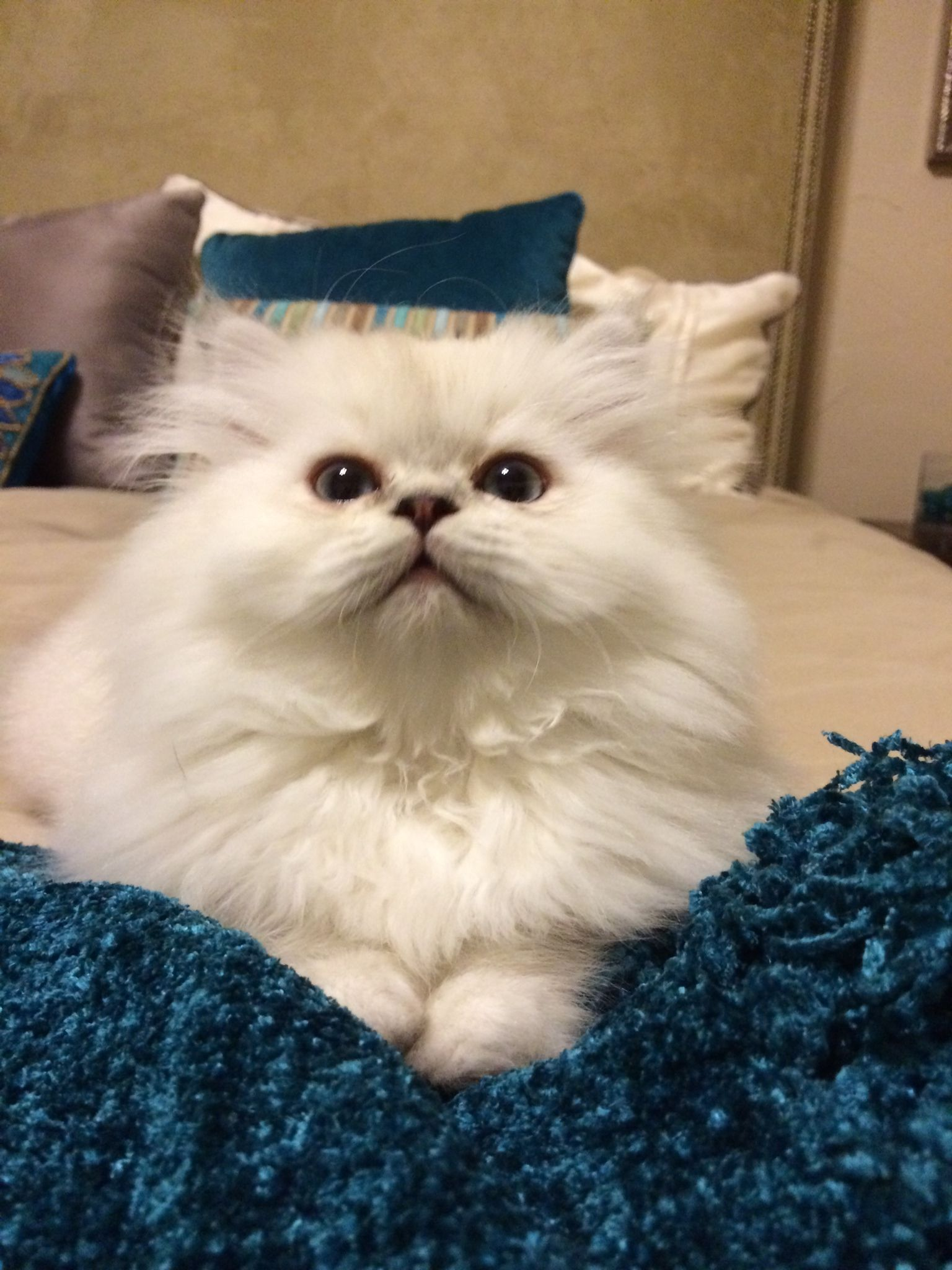 Traditional Doll Faced Persian Kitten Blue Lynx Point