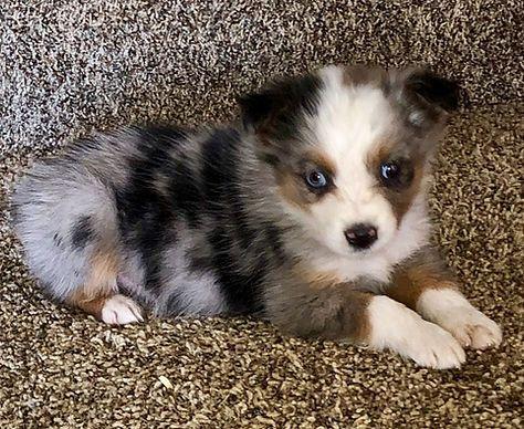 Available Pups In 2020 Aussie Puppies Australian Shepherd Puppies Corgi Puppies For Sale