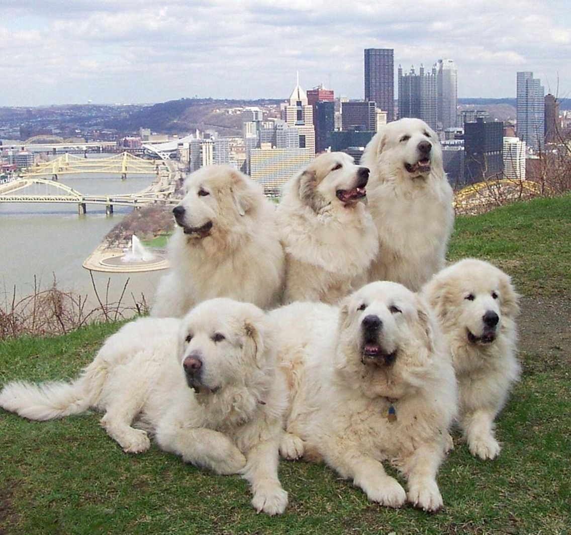 Great Pyrenees Club of Western Pa Rescue Great Pyrenees