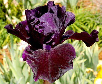 Tall bearded Iris 'Bye Bye Blackbird' (George Sutton, 2000) TB, 36 inches (91 cm), EM & RE Ruffledblack,violet-infused edge,B.purple black spicy fragrance