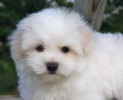Lhatese Lhasa Apso Maltese Mix Maltese Dogs Grooming Maltese