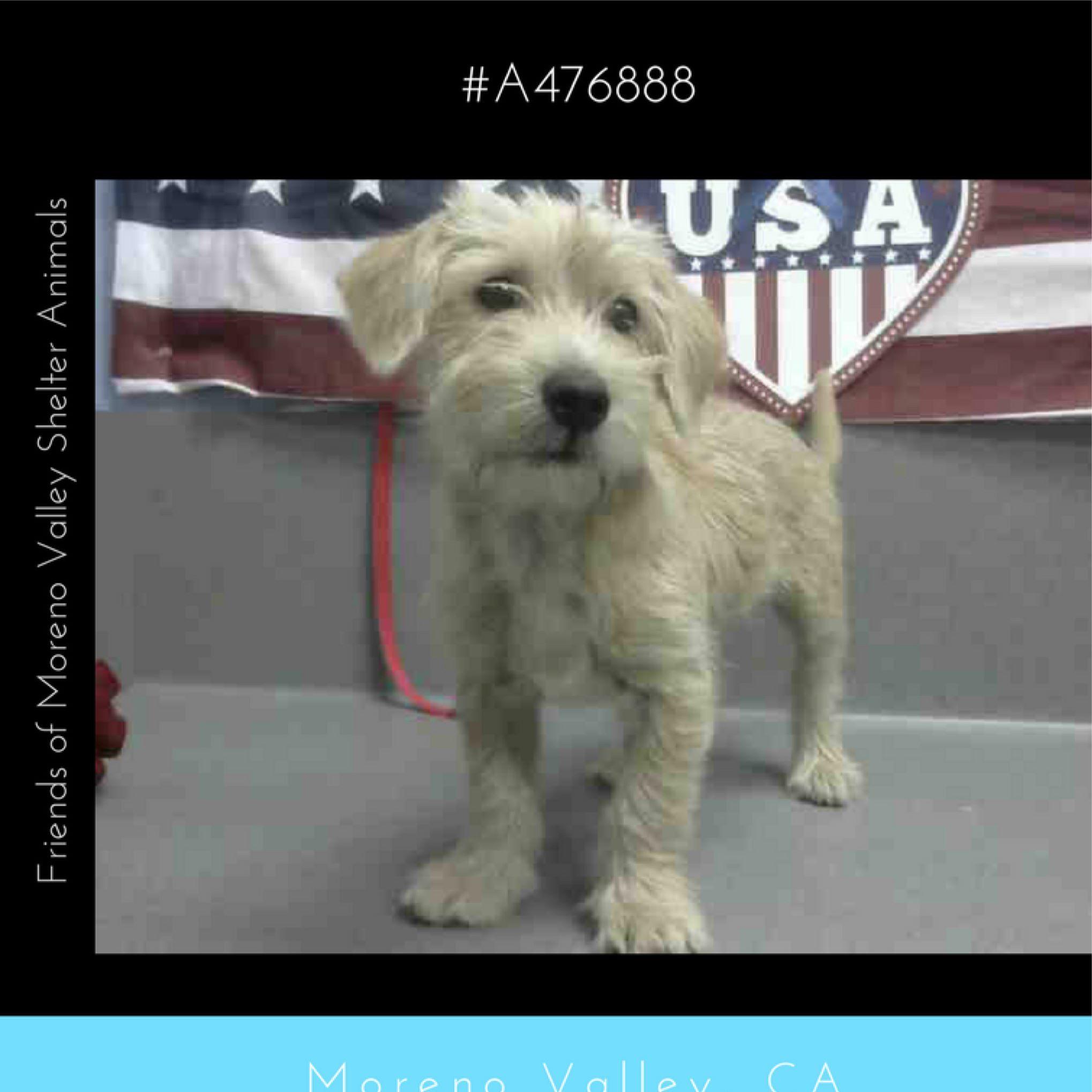 CURAN A476888 (Moreno Valley CA) Male tan Terrier mix
