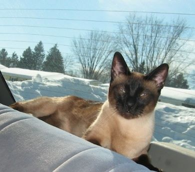 Our Cat Yoshi Gene Sue Cold Springs Mn 10 14 12 Cats And Kittens Dog Cat Siamese Cats
