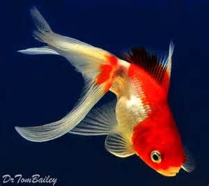 Red And White Fantail Goldfish Bing Images Fantail Goldfish Goldfish Goldfish For Sale