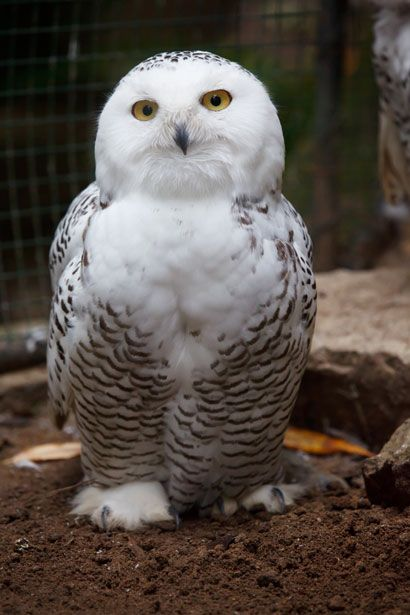 Snowy Owl -Picture. Free Download. License: Public Domain. Free for your personal use.