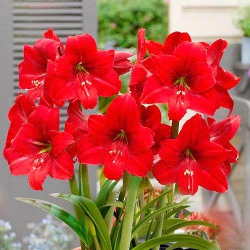 Photo of Cumpără bulbi de crin de cameră (amaryllis) park red (76011): în magazinul Gradinamax