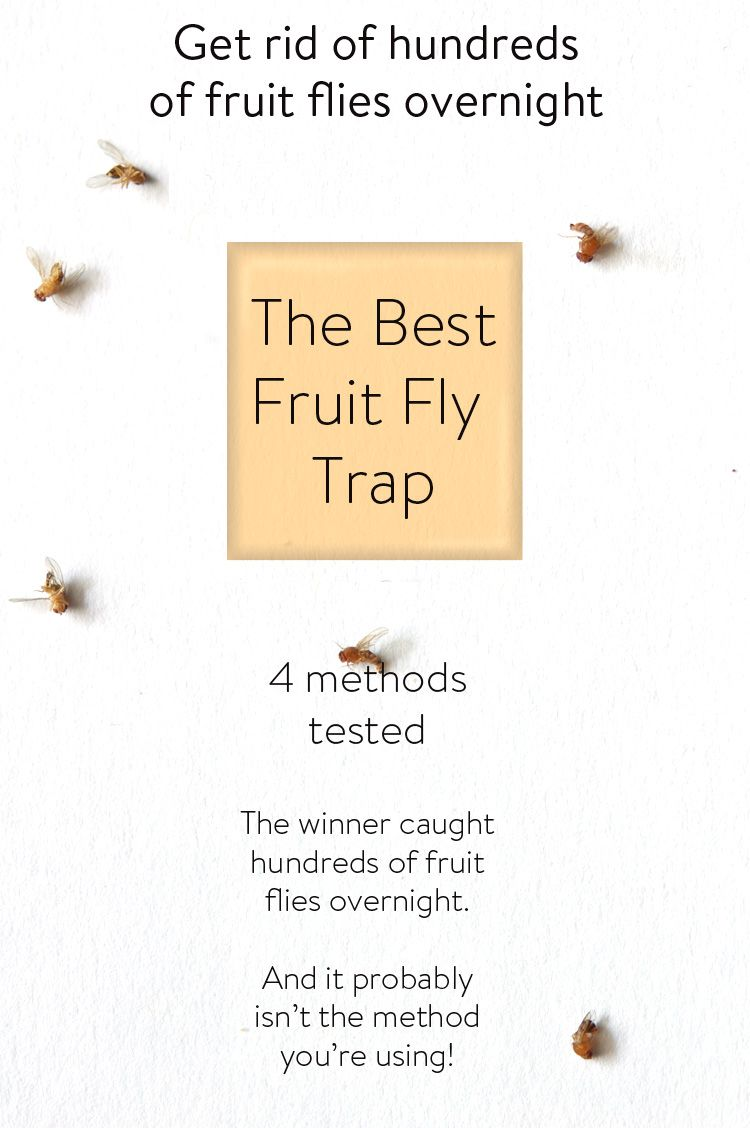The best fruit fly trap in the world fly traps cleaning and stuffing