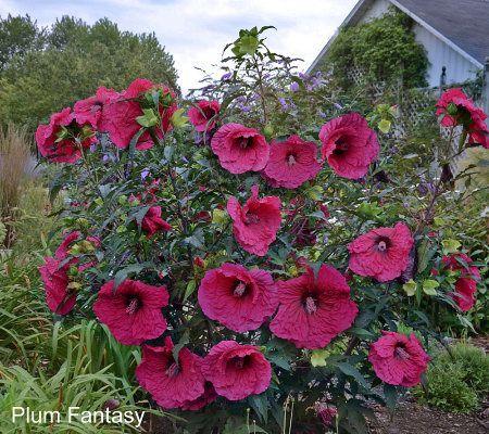 plum fantasy razzle dazzle giant hibiscus from cottage farms rh pinterest com