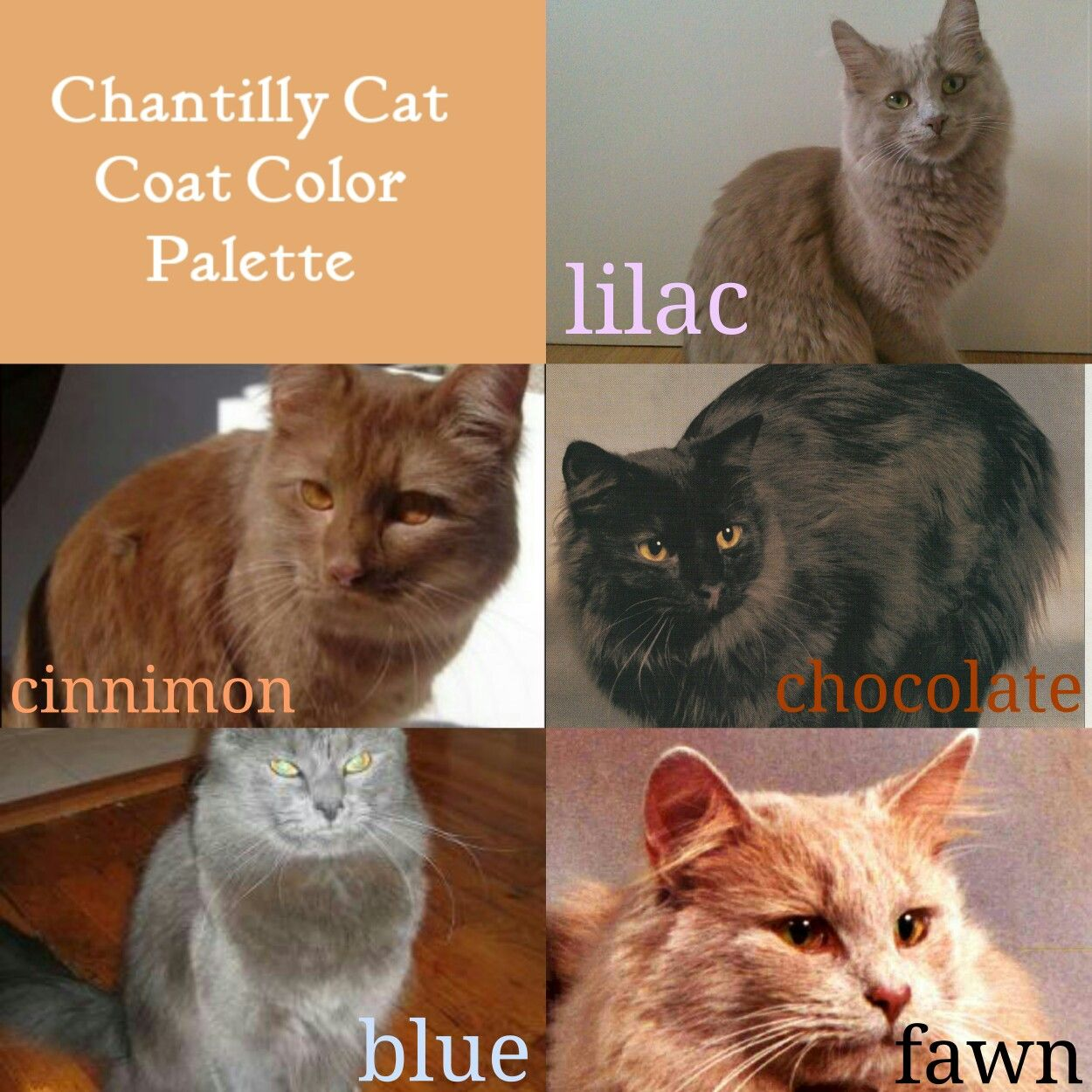 Chantilly Cat Coat Color Palette Lilac Cinnamon Chocolate Blue Fawn Chantilly Cat Colorful Coat Cats