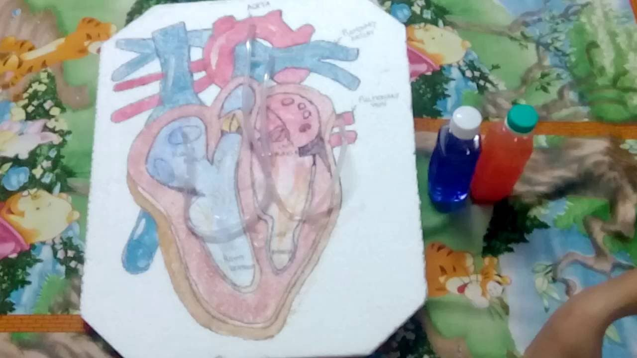 Working Model Of A Human Heart Science Models Human Heart Human