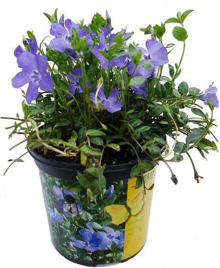 vinca minor 'marie' ® - dunkelblau-violettes immergrün im mein, Terrassen ideen
