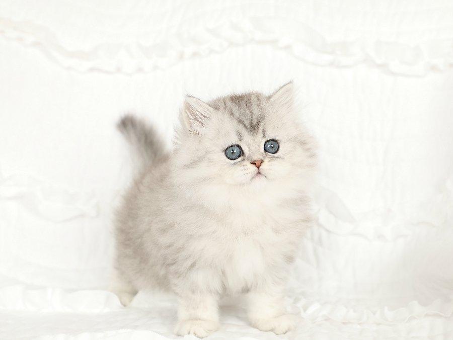 Dew Drop Persian Kitten For Sale Persian Kittens Persian Kittens For Sale Teacup Kitten
