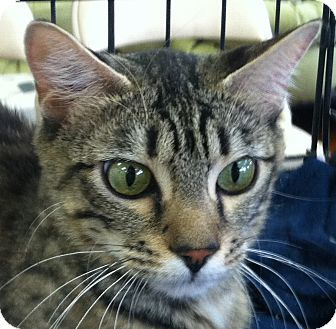 bengal tabby cat mix | Bengal Cat for adoption in Winchester