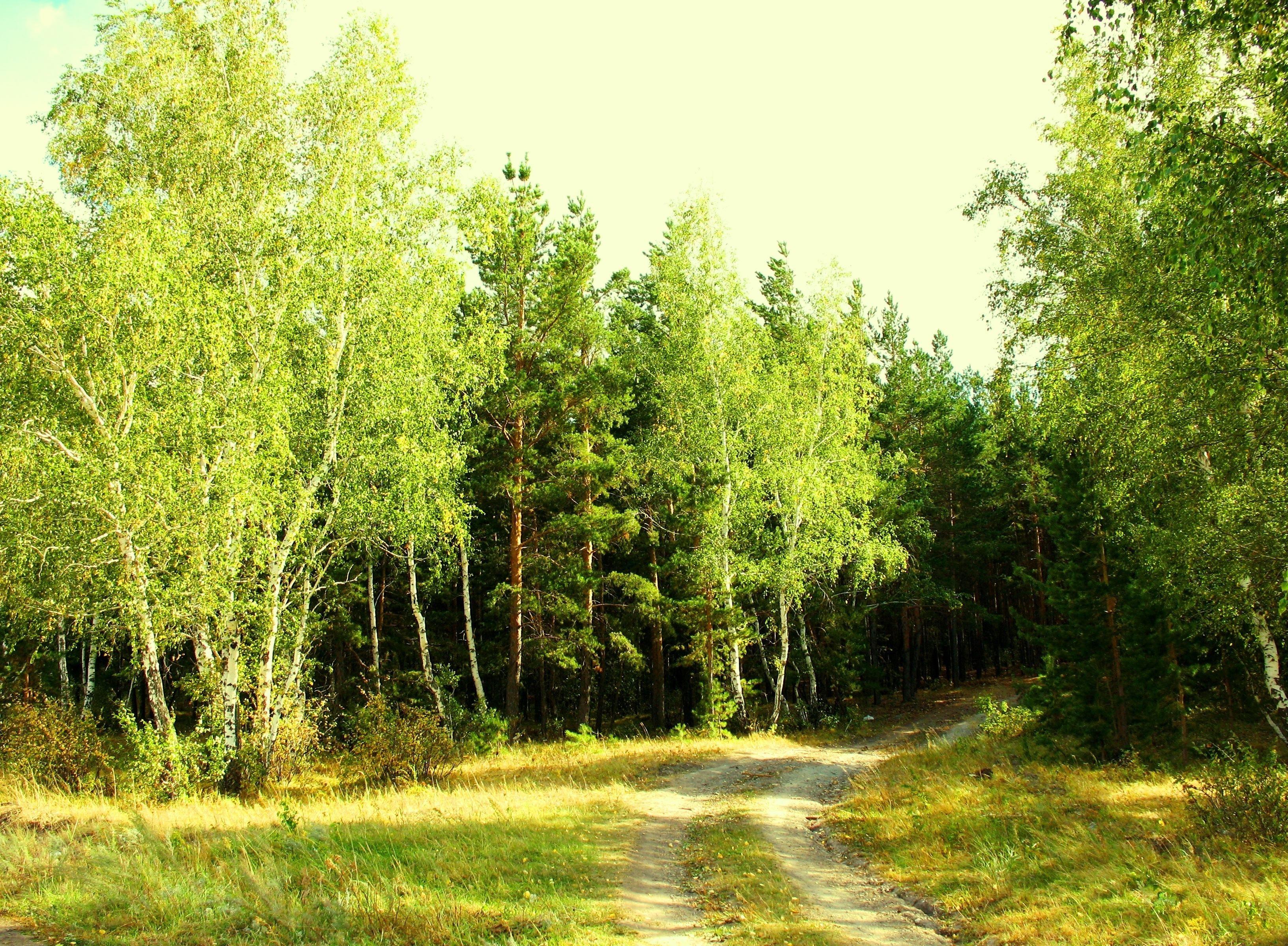 Обои тропа, осень, березы. Пейзажи foto 9