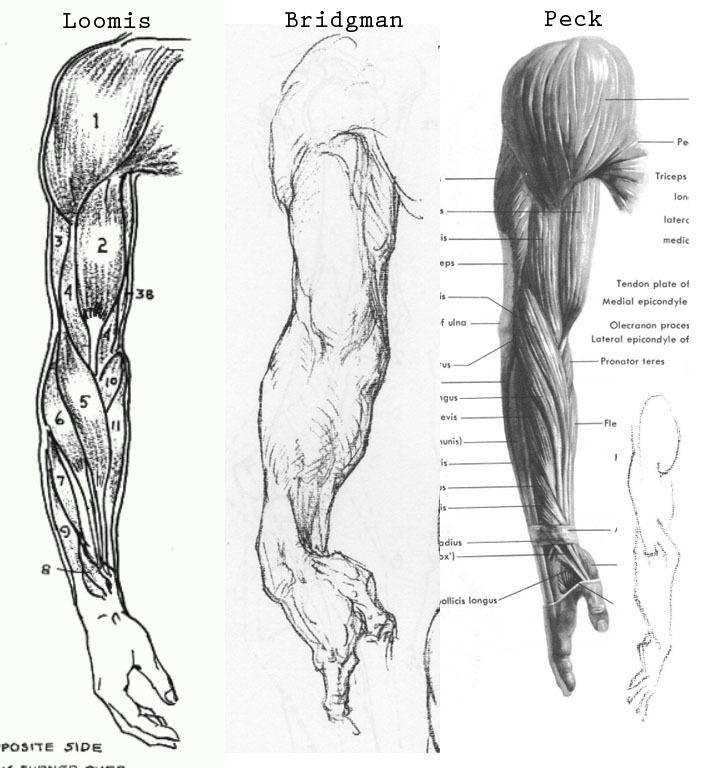 Loomis - Bridgman - Peck - comparison, muscles of the arm | Anatomy ...