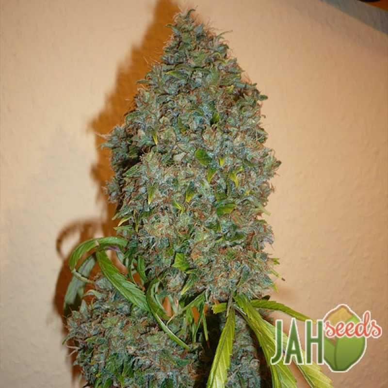 Как быстро всходят семена конопли выращивал марихуану в подвале