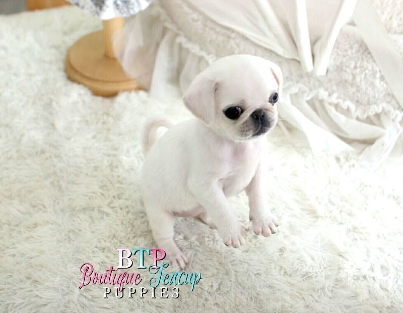 Probably One Of The Cutest Unique White Pugs I Have Ever Seen