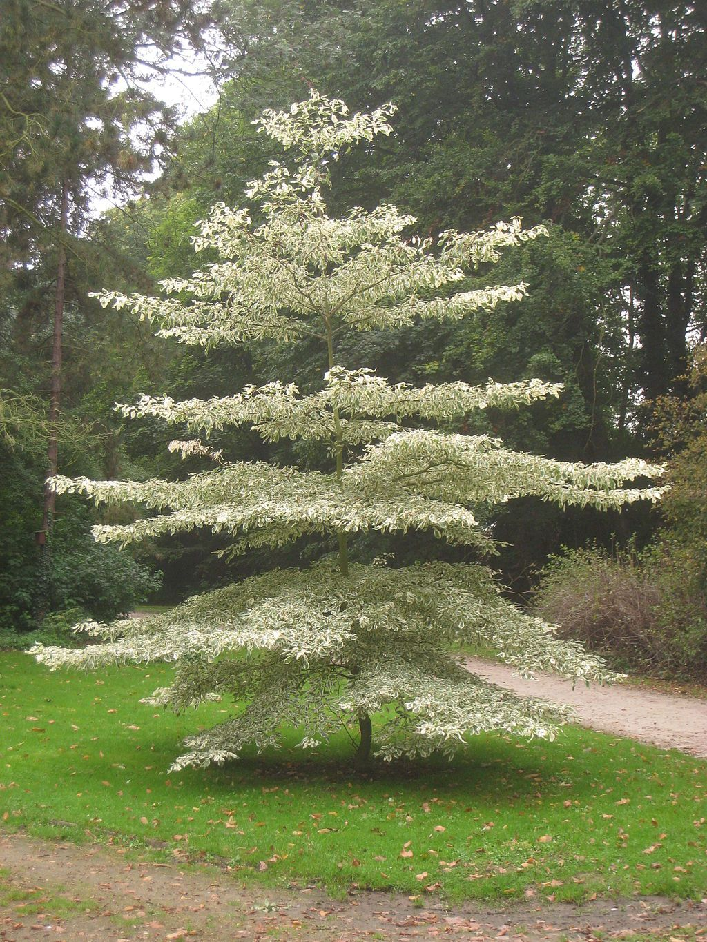 The Giant Dogwood Has Such An Appealing Appearance That It S Also