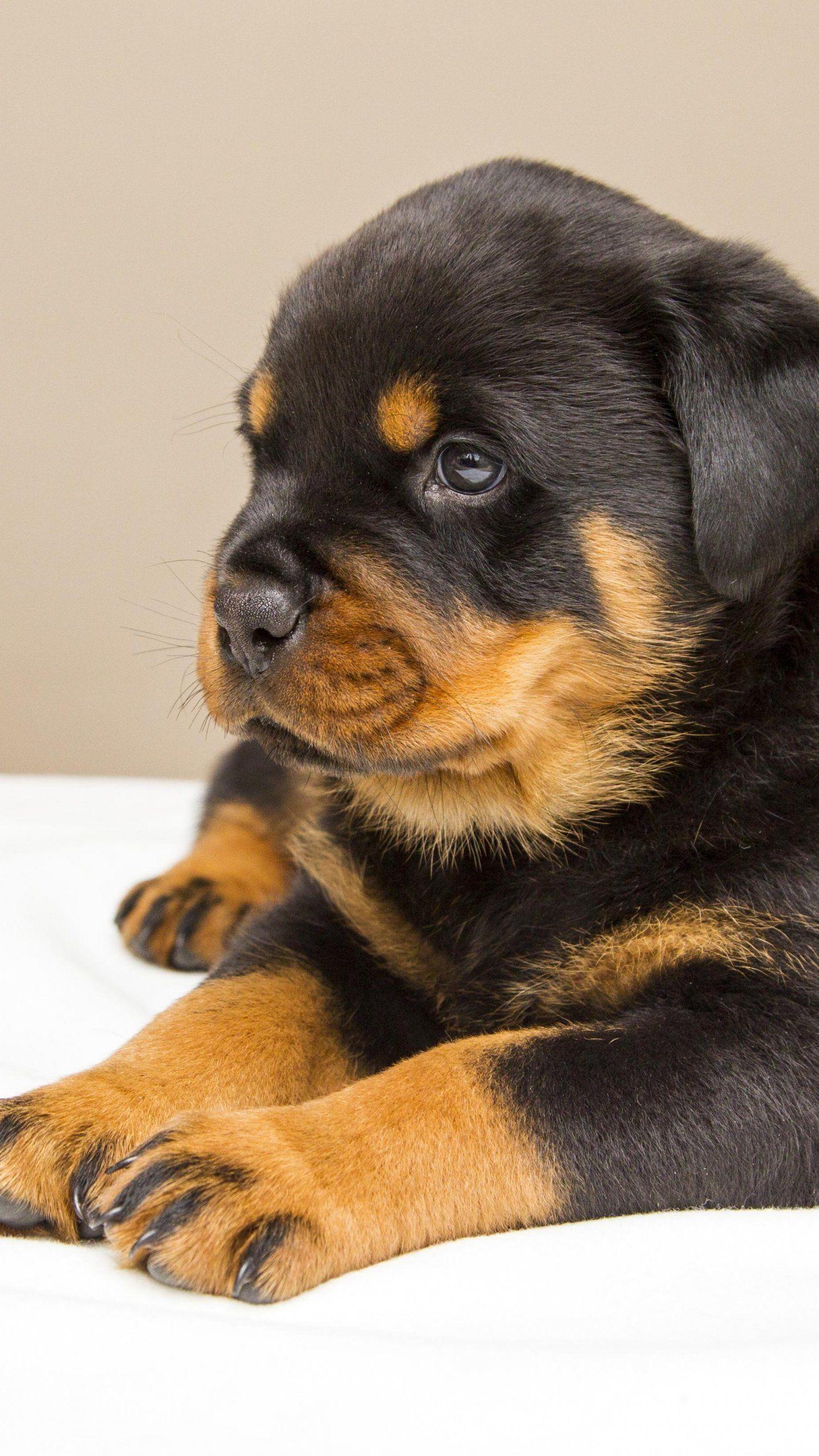 Rottweiler Puppy Wallpaper Iphone Android Desktop Backgrounds Rottweiler Puppies Puppies Dog Training