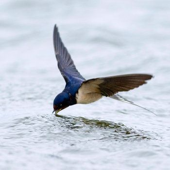 21-facts-on-swallow-i1.jpg (350×350) | Pretty birds ...