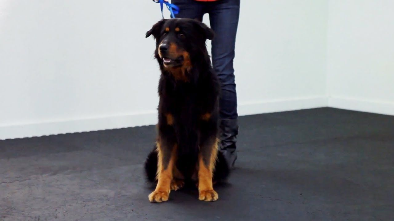 Training A Dog To Heel Teacher S Pet With Victoria Stilwell With Images Dog Training House Training Dogs Agility Training For Dogs