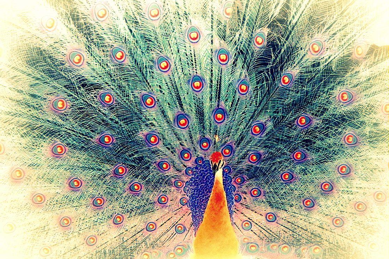 peacock by AV