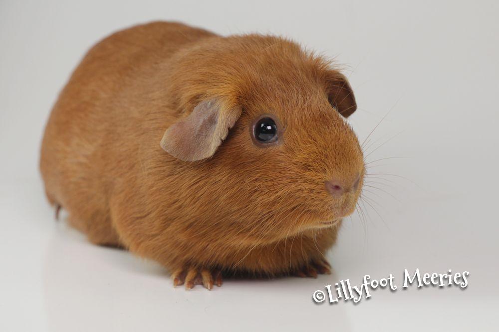 Saue Pink Eyes Dark Eyes Hamster