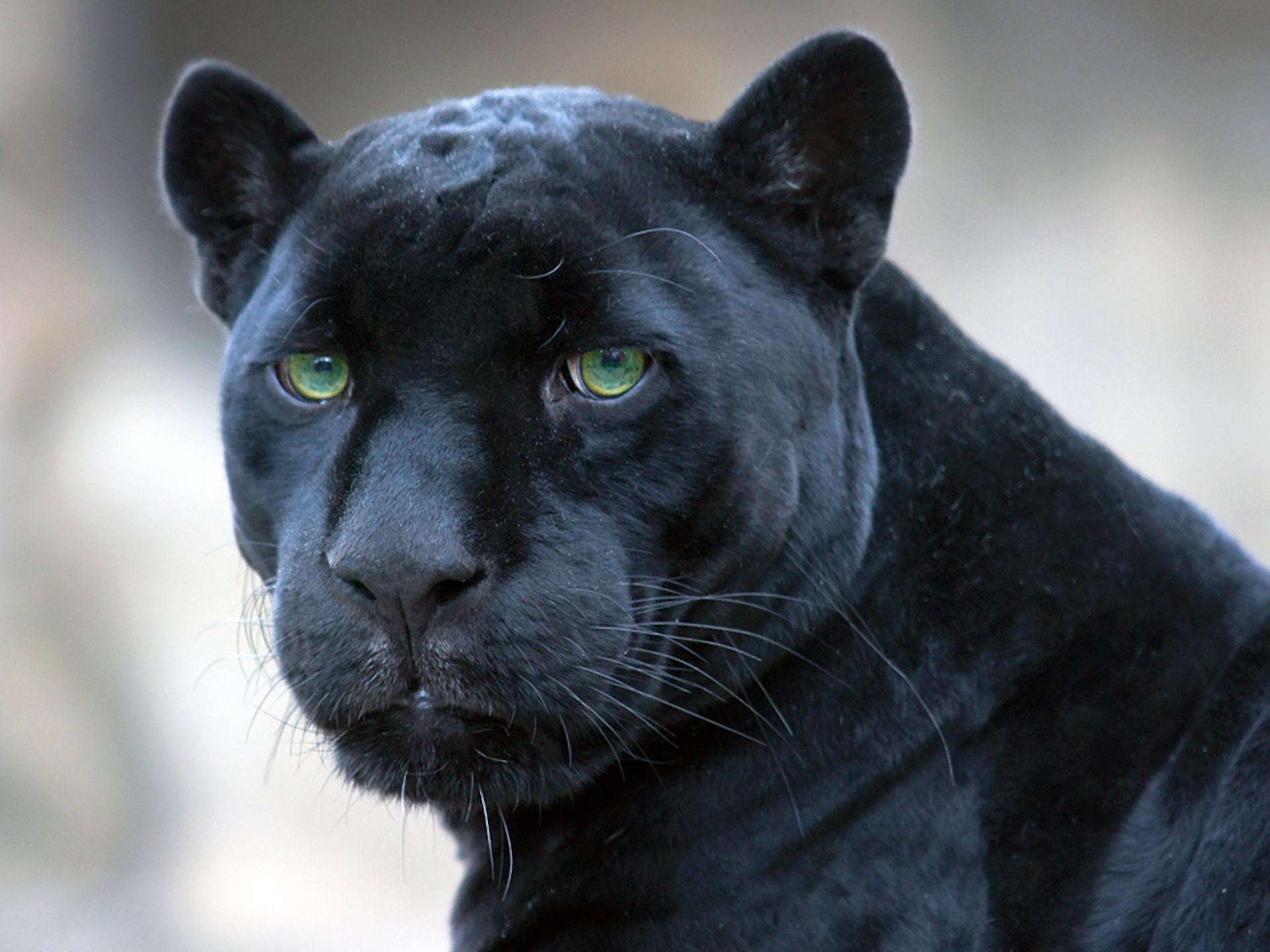 Download wallpaper jaguar, black, panther free desktop wallpaper in ...