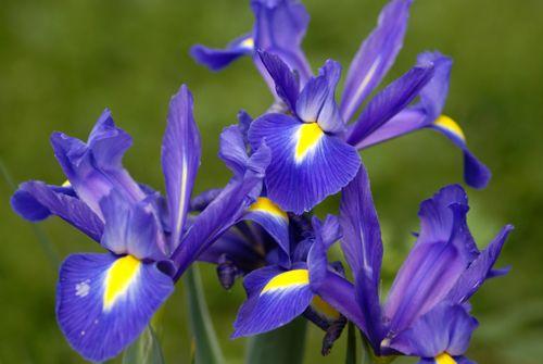 iris 500 blue flowers interflora