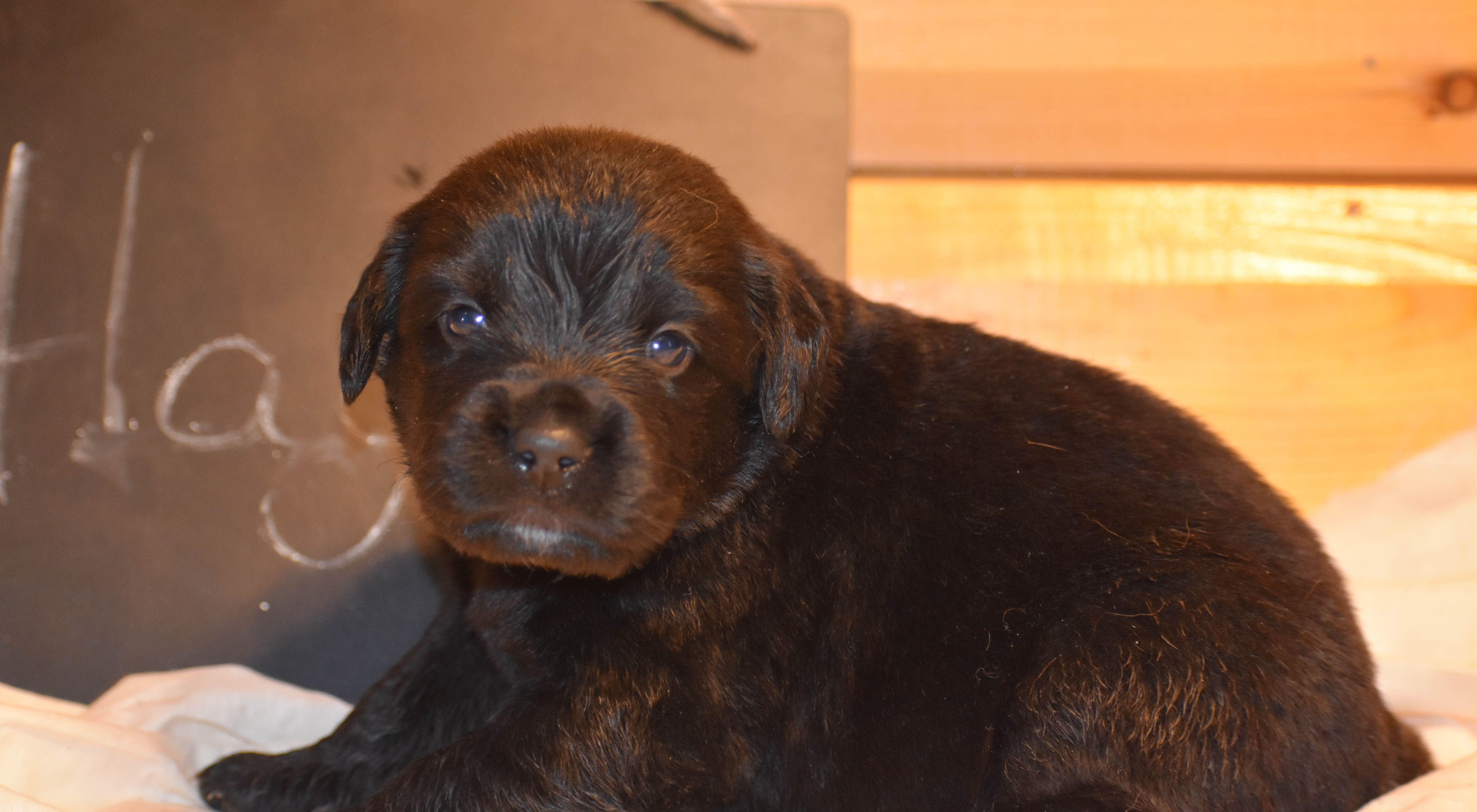 Hagrid A Male Golden Mountain Dog Puppy For Sale In Flora
