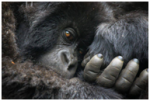 Two Ugandan entries compete for top prize in Atta's inaugural photo competition - See the amazing young gorilla from Wildlife photographer Adelberto