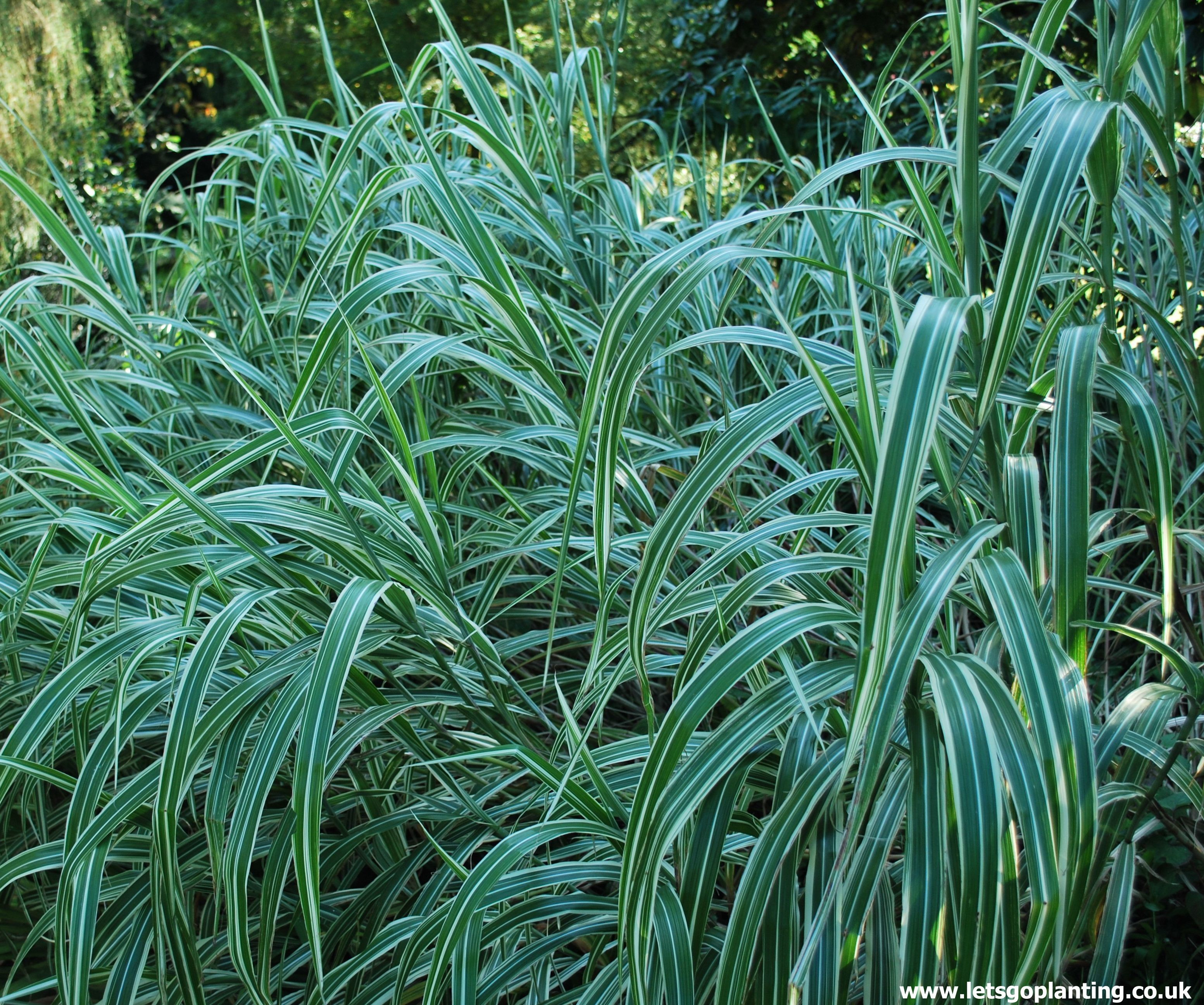 Miscanthus sinensis variegatus also know as variegated for Variegated grass with purple flower