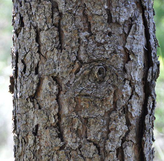 Love The Bark Of Pecan Trees Pecan Tree Tree Pecan