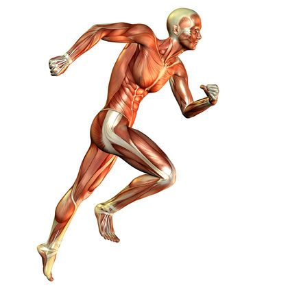 The Muscular System Workings How The Muscular System Functions 2454 ...