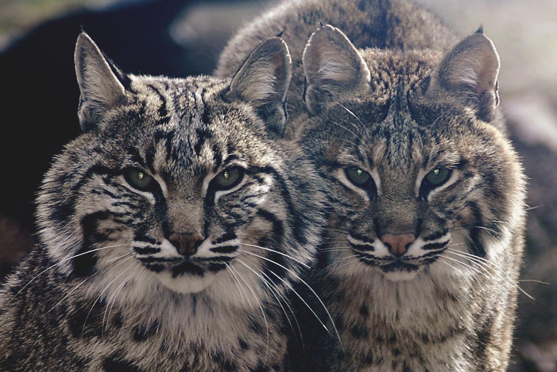 Le lynx roux ou chat tigré (bobcat Wild cat species