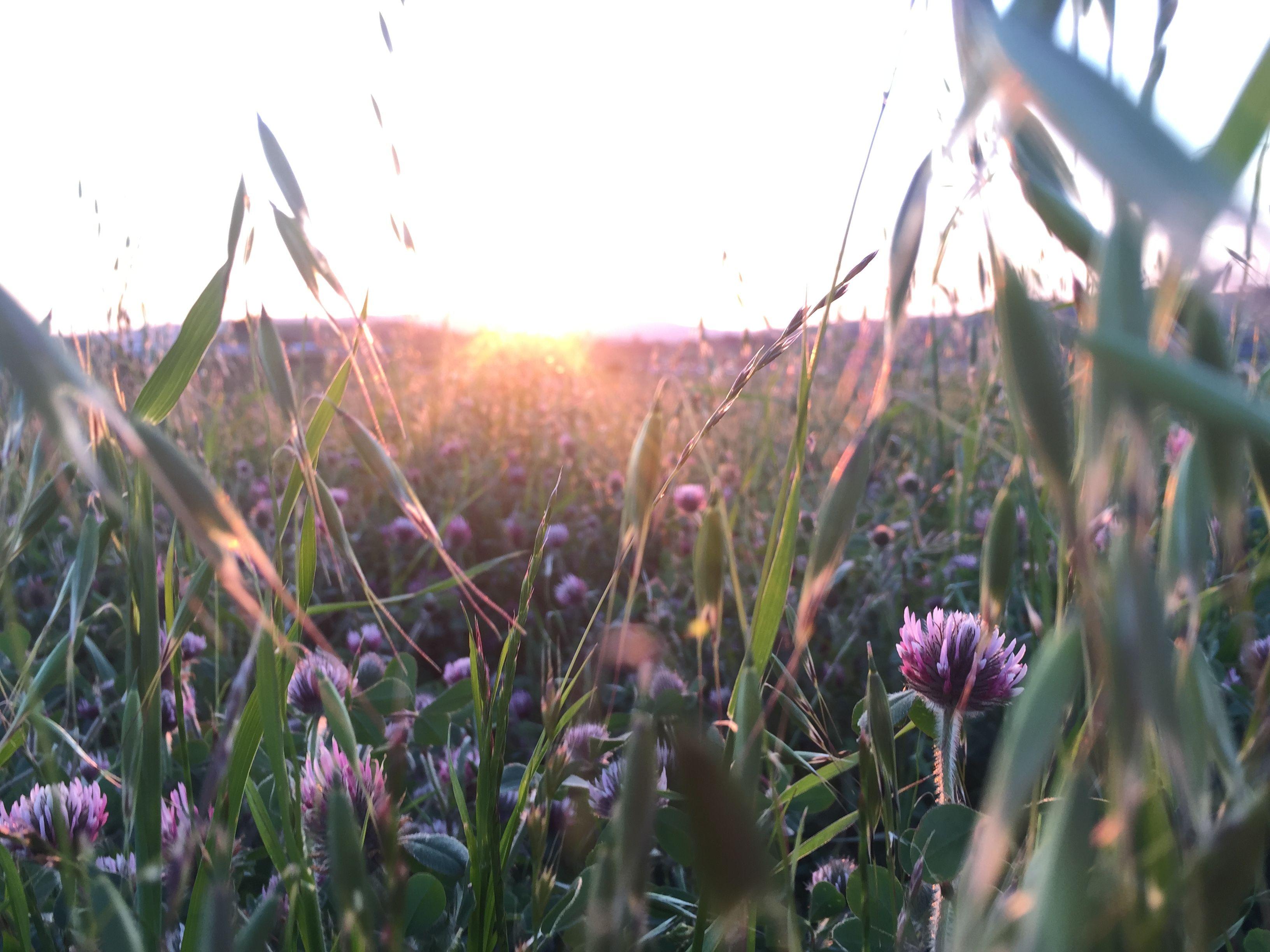 Grass Purple flowers Sunset Photography Sun rays Hill by chloehickss