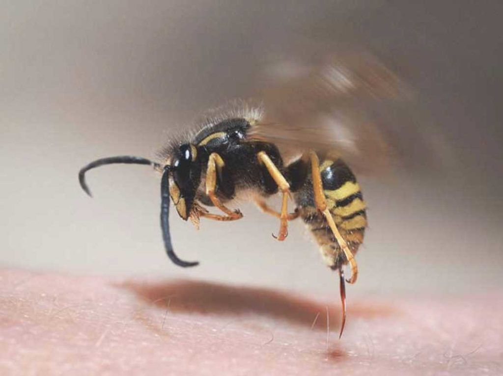 How To Avoid Insect Stings In 2020 Yellow Jacket Sting Wasp Stings Remedies For Bee Stings