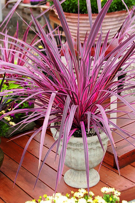 Cordyline Plant Care Learn To Grow The Hawaiian Ti Plant Pink Garden Plants Xeriscape