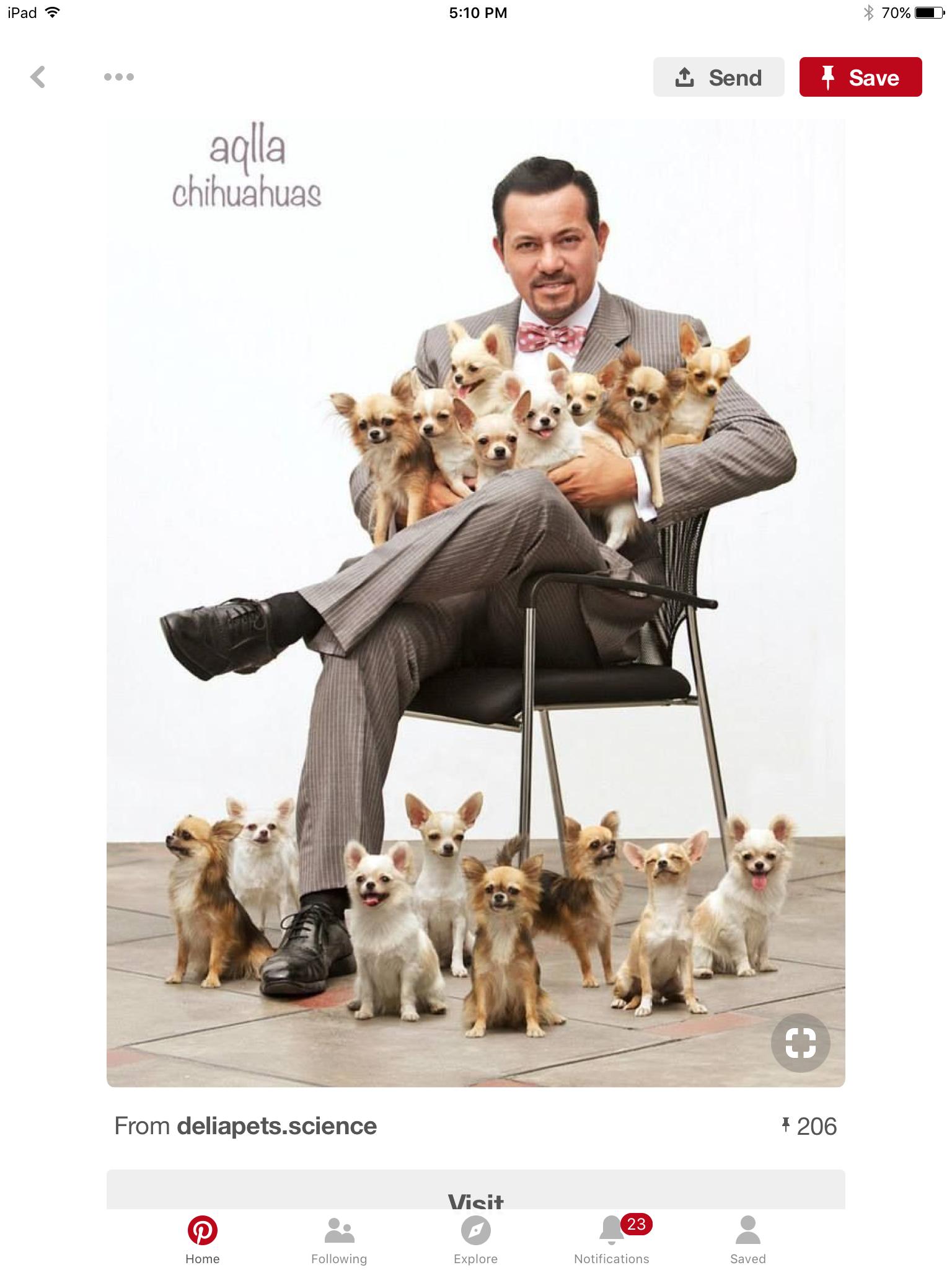 Image by All My Chihuahuas on Chihuahuas Chihuahua, Cute
